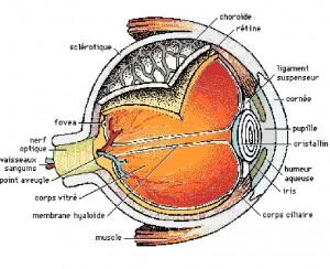 coupe de l'oeil